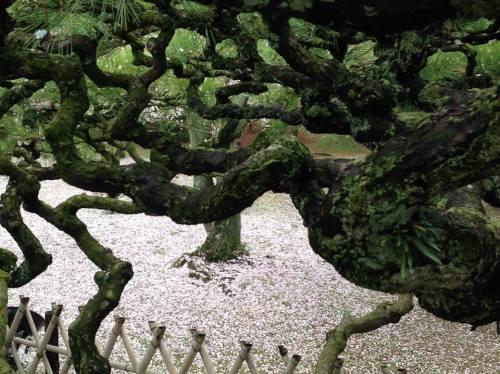 栗林公園・松と桜の絨毯.jpg
