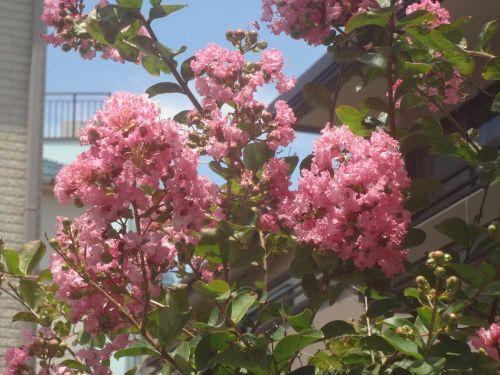 サルスベリの花-S.jpg