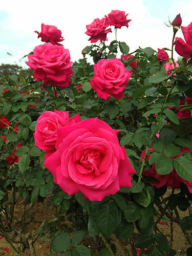 rose_garden2015autumn.jpg