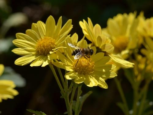 ミツバチと黄色の小菊 | 人生は ...