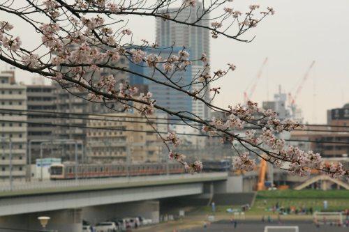 Cherry blossoms in Tamagawadai Park and Tokyu 5080 Series