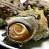 魚焼きグリルで7分♪サザエの壺焼き