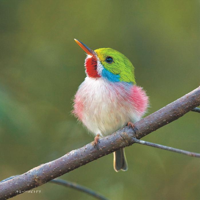 日本の珍しい鳥類 天然記念物で綺麗な鳥たち   珍 …