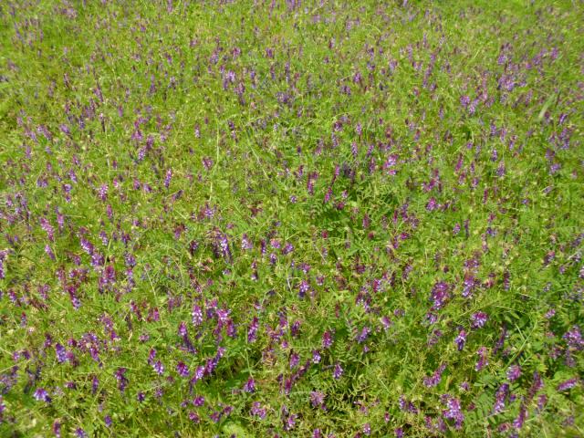 小さい畑のヘアリーベッチ20120517