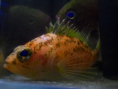 イズハナダイ属(Plectranthias)の種17 深海魚飼育