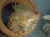 ナメダンゴ(Eumicrotremus taranetzi)73