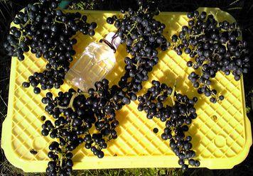 20121013今年の収穫山葡萄.jpg