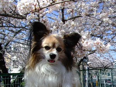 2012桜祭り3.JPG