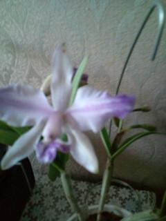 C. intermedia fma. aquinii coerulea 20120503