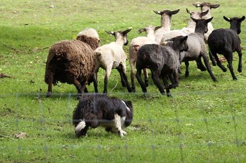 Sheepdog show/シープドッグショー