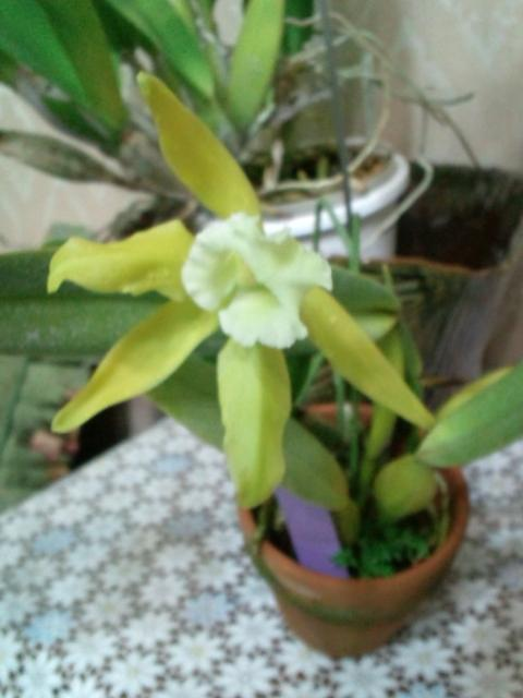 L. tenebrosa fma. alba 'Shonan' x self 20120705