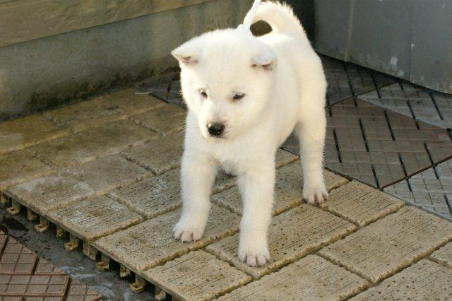 紀州犬の画像 p1_21