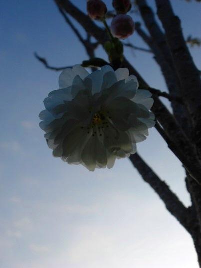 八重桜2.jpg