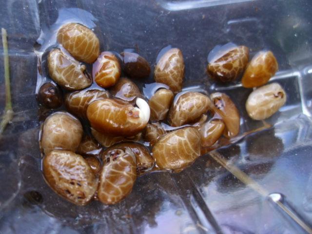 空芯菜種子20120705