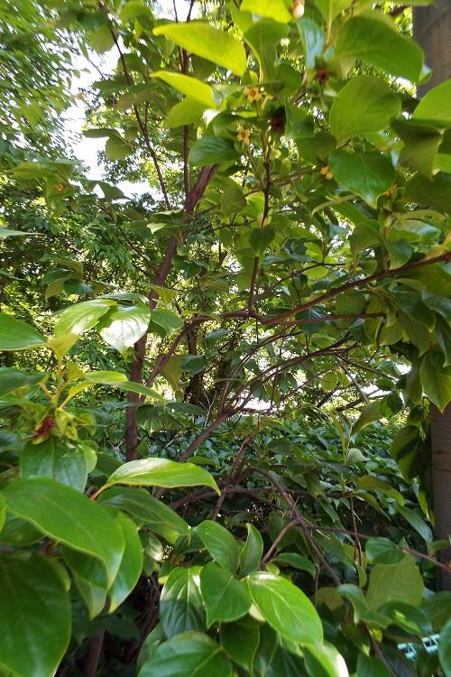 ヤマガキ(山柿)の花