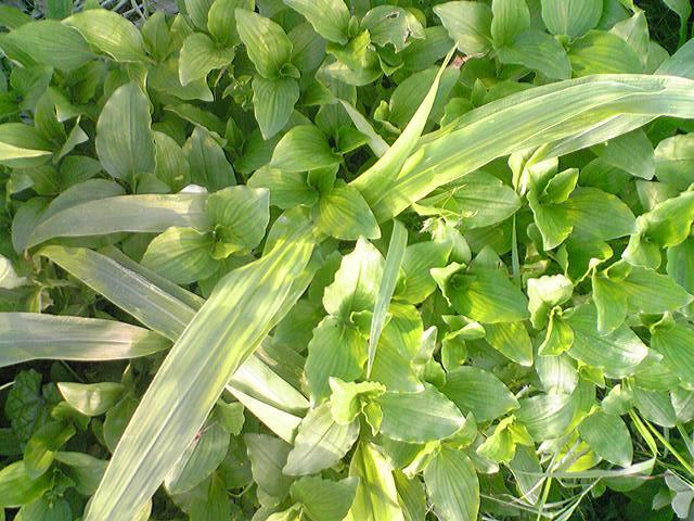 緑肥用とうもろこし20120708