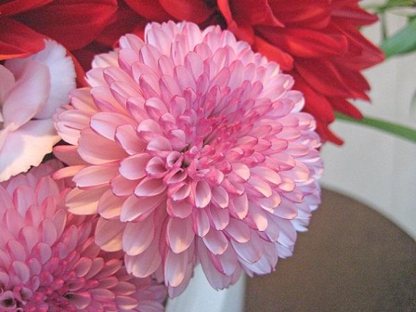 菊の画像 p1_3