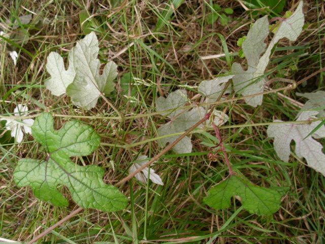 大きい畑そばでエビヅル発見20120626