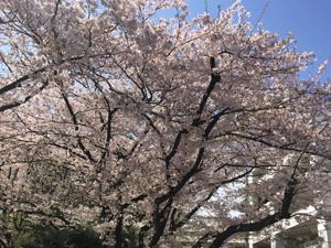 桜300.jpg