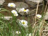 20120602 silgyecheon flower 5.jpg