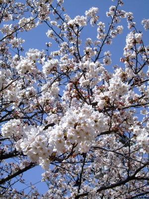 2012桜祭り2.JPG