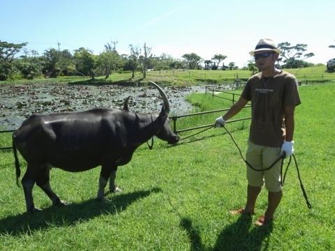 水牛のおすぎ