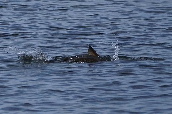 暑寒別川 鮭遡上