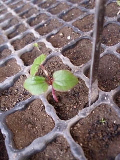 キクバエビヅル植え替え前20120516