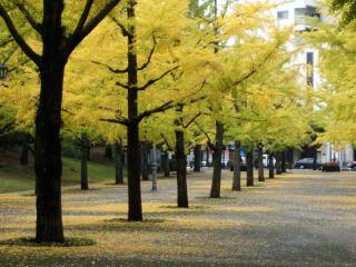 熊本県庁 いちょう.jpg