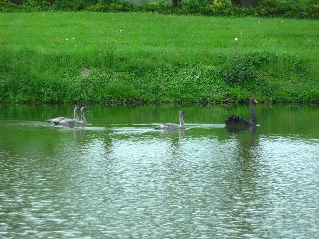 0516 swans.jpg