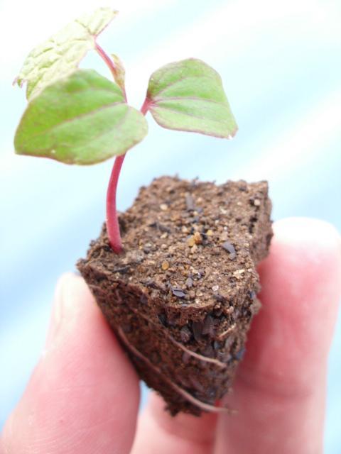 キクバエビヅル植え替え中20120516