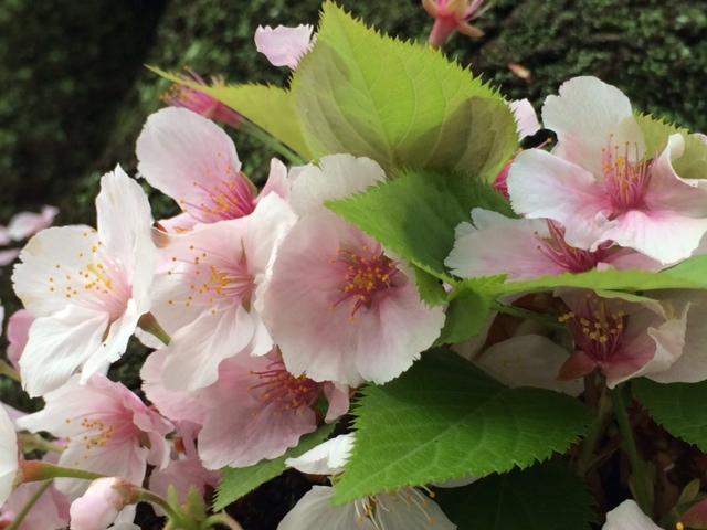 桜__ 3.JPG