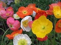毛の生えたつぼみが2つに割れて、折りたたまれてできたしわのある薄い花びらが開くときをいつも見逃して、気がつくと春風に花 がひらひらとはかなげに揺れています。