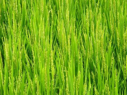 稲の様子 ~ コシイブキが出穂 |...