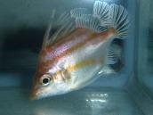 ベニカワムキ23 Triacanthodes anomalus