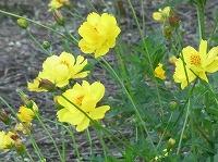 キバナコスモス 誕生 花
