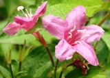 20120602 silgyecheon flower 11.jpg