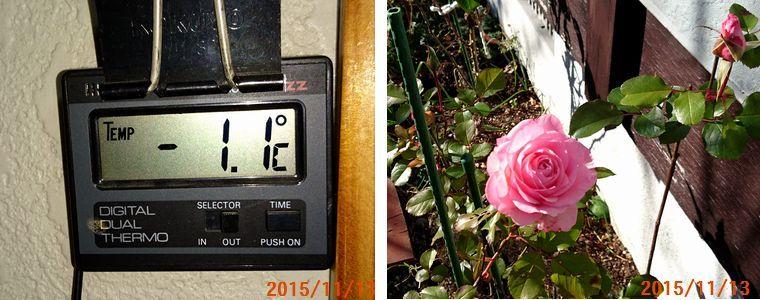 11/13それでもバラは元気.jpg
