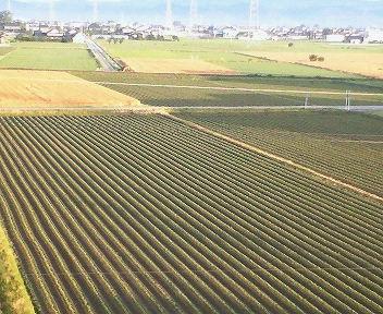 発芽し始めた大豆畑