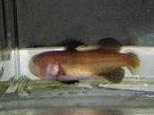 ヨミノハゼ4 Austrolethops wardi