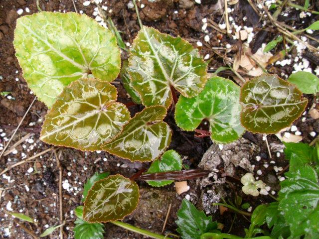 ガーデンシクラメン20120623
