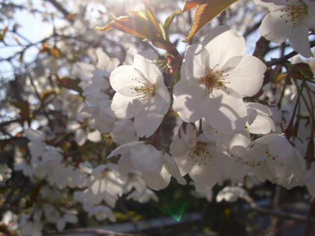 畑隅の桜20120407