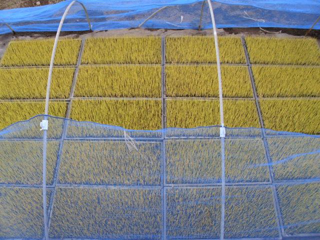 黄色の稲の苗20120606