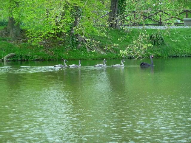 0516 swans01.jpg