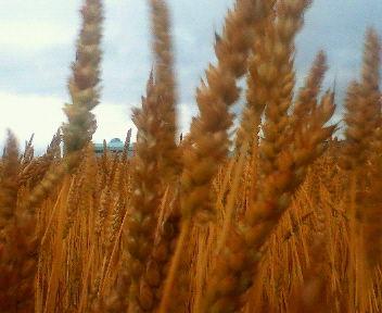 しっかり色づき収穫を待つばかりの小麦