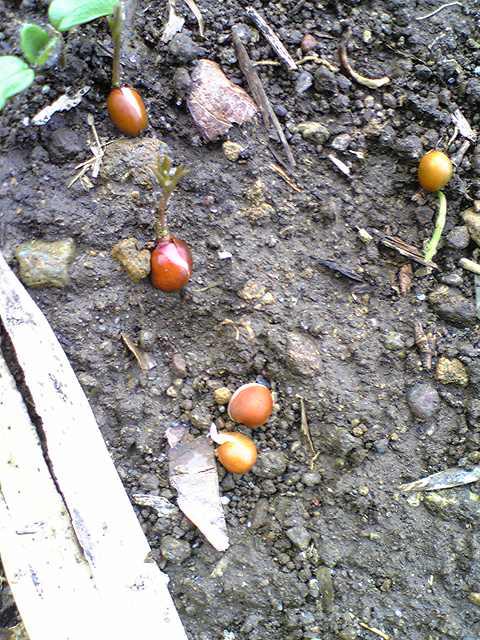 ヘアリーベッチ種20120318