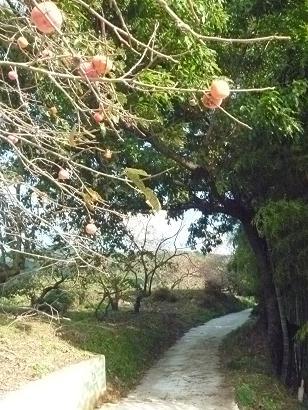 天理・柿とり1.jpg