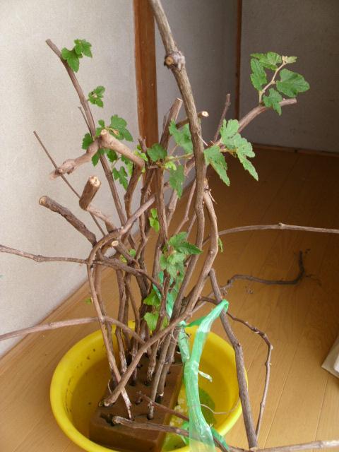 野性葡萄の水挿し20120520