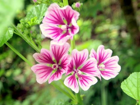 ゼニアオイ アオイ科の花が元気に咲いております。   三田のいのしし ...