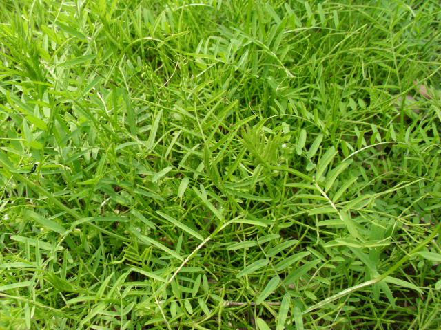 小さな畑のヘアリーベッチ20120423